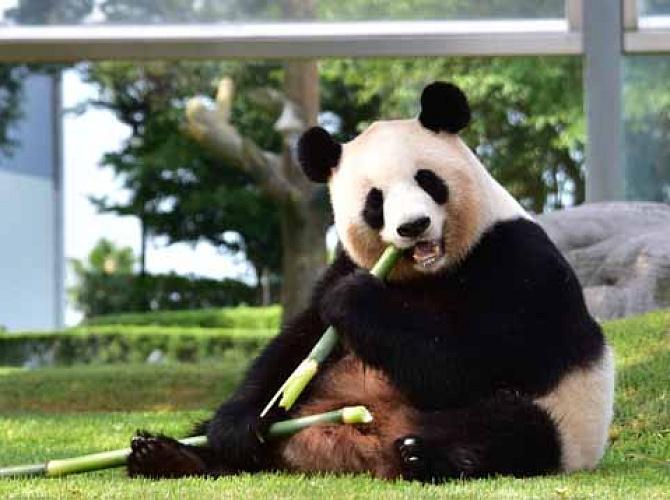 【2021】アドベンチャーワールドのパンダに会いに行こう!全7頭の名前、赤ちゃんパンダの観覧情報も!