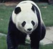 パンダのカンカン