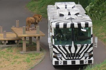 【再開は?】多摩動物公園のライオンバスが休止中!工事内容・建設中の新施設まとめ!ライオンバスの見どころも