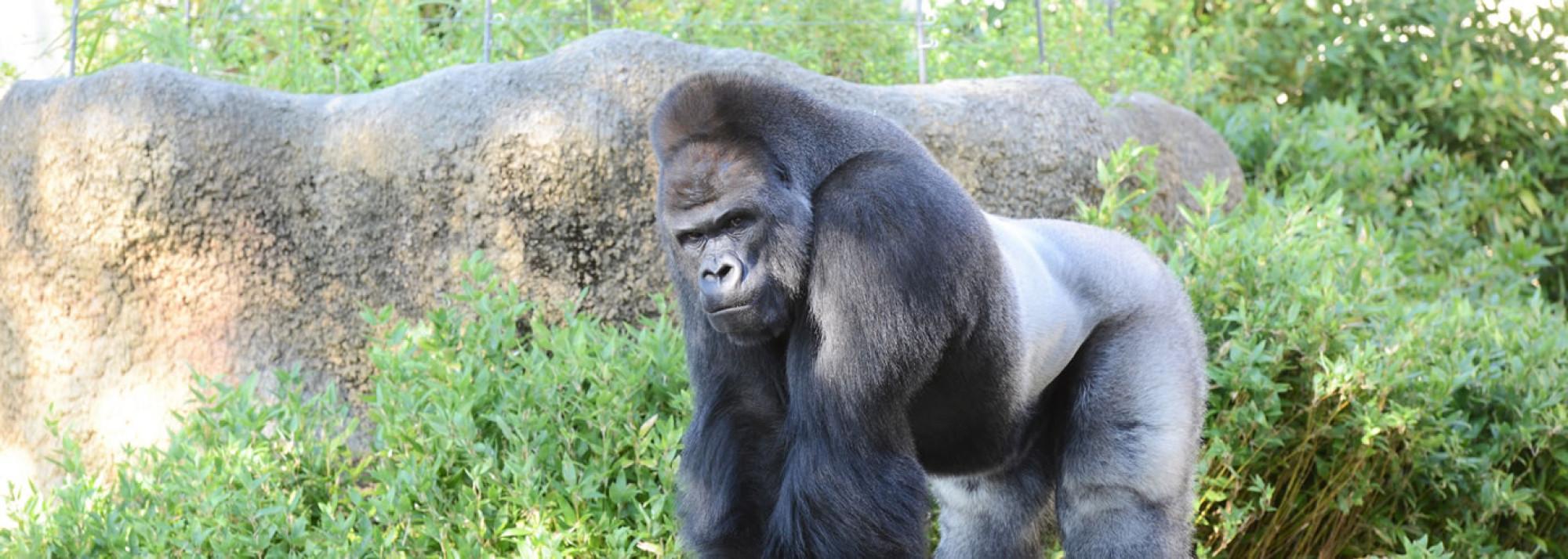 東山動物園のゴリラ